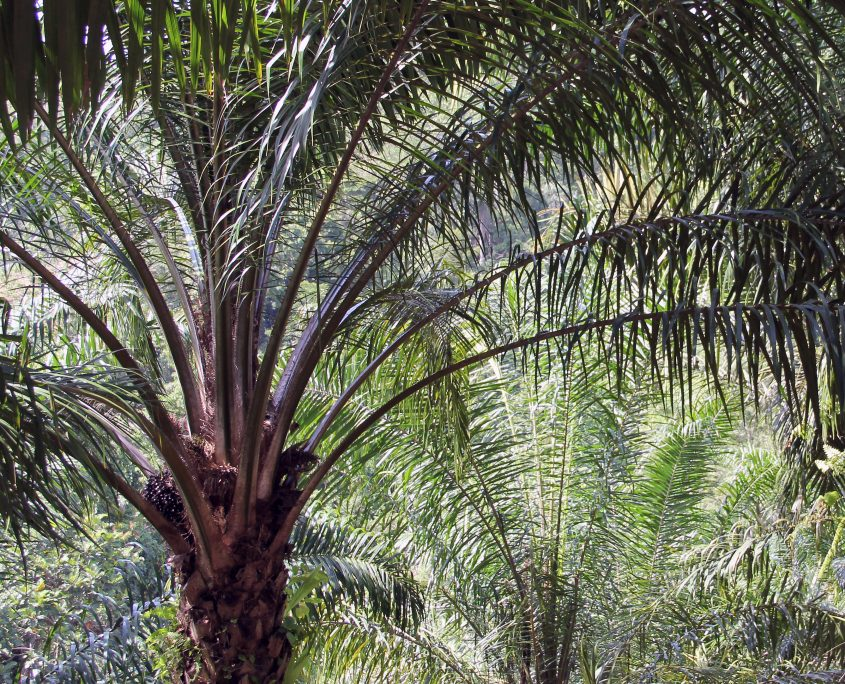 Fig. 08. Oil palm fruits ready for harvest in the crown of a palm tree in Bengkulu Province, Sumatra, Indonesia. Photo by Etienne Turpin, 2014.